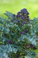 Purple-sprouting broccoli (Brassica oleracea var. italica) growing in garden