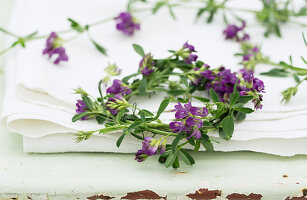 Wreath of purple-flowering alfalfa (Medicago sativa)