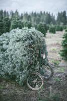 Cutting down Christmas trees at an evergreen tree farm