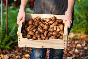 Woman holding crate of freshly harvested potatoes