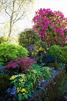 Rorbuche, japanischer Ahorn und Rhododendron im Garten