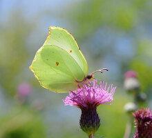 Lemon butterfly on scratch thistle