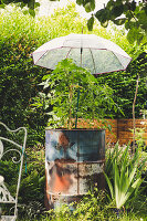 Umbrella protecting tomatoes planted in metal drum from rain