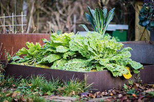 Bed of golden savoy cabbages and palm kale