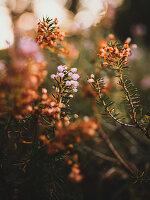 Rosafarbene und welke Blüten der Glockenheide