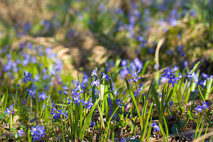 Squill growing in garden