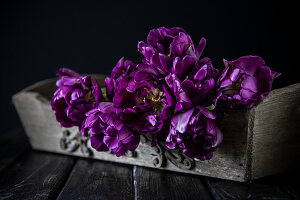 'Purple peony' tulips in wooden box