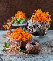 Blüten von Dendrobium Stardust in Schalen
