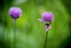 Chive flowers amongst grass