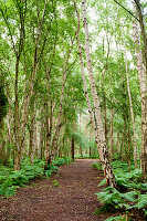 Woodland path lined with silver birches and ferns