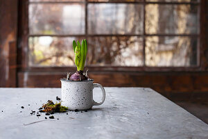 Hyazinthe in einer Tasse