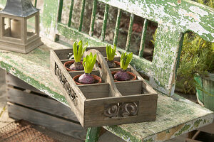 Hyacinth bulbs in compartments of tray on garden bench