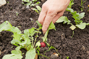 Pulling a radish from the soil