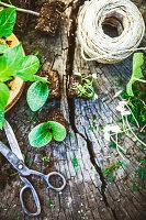 Schere und Schnurrolle mit Setzlingen auf Holzuntergrund