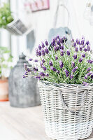 Basket of flowering lavender