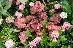 Bellis and heuchera in garden