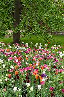 Bed of tulips and tree in garden