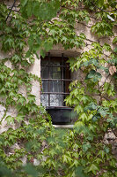 Barred window of house covered with Virginia creeper