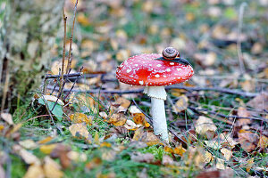 Snail on fly agaric mushroom on forest floor