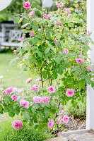 Pinkfarbene Rosen im Terrassenbeet