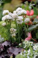 White alliums in garden