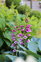 Flowering foxglove (Digitalis purpurea) in garden