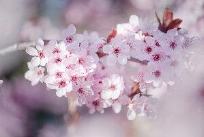 Blossoming branch of black cherry plum (Prunus cerasifera 'Nigra')