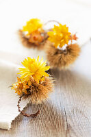 Yellow everlasting flowers in sweet chestnut cases