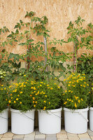 Companion planting: tomatoes and Tagetes growing in white buckets