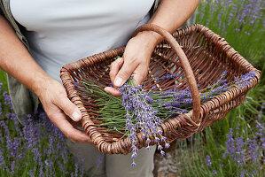 Ernte von Lavendelblüten