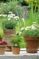 Margeriten und Zierspargel in Blumentöpfen