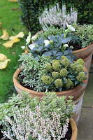 Containers planted with hellebores, Japanese andromeda, skimmia and ling