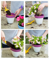 Instructions for planting million bells in painted terracotta pots