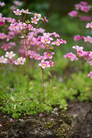 Moossteinbrech im Garten