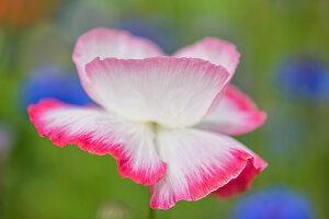 Weiße Klatschmohnblüte mit pinkem Rand