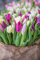 Tulips for selling as cut flowers