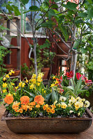 Violas, pansies, narcissus and parrot tulips in rusty metal trough