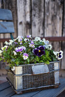 Wire basket of violas and pansies