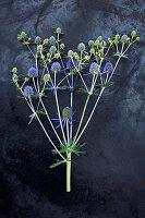 Blütenstiel von Mannstreu auf dunklem Untergrund