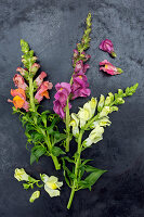Snap dragon flowers on dark surface