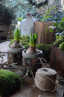 Early spring arrangement of potted hyacinths