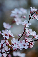 Flowering cherry plum