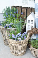 Wicker baskets planted with blue spring-flowering plants