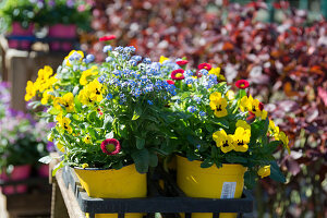 Colorful spring flowers: horned violets, forget-me-nots, and Tausendschon rambling rose