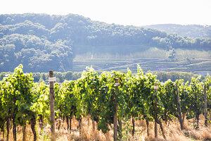 Weinwanderung bei Perl, Deutschland (Dreiländereck)
