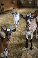 Goats in a stall on an organic farm