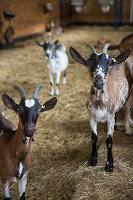 Ziegen im Stall auf einem Biohof