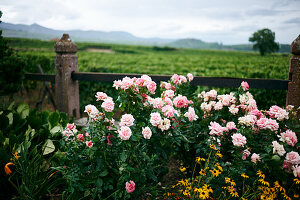 Pink roses in cottage garden
