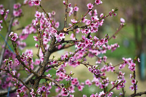 Pink blossom on branch of nectarine tree