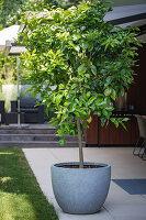 Lemon tree on terrace